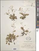 view Micranthes clusii (Gouan) Fern.Prieto et al. digital asset number 1