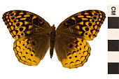 view Great Spangled Fritillary digital asset number 1