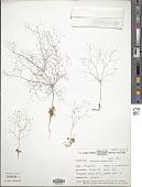 view Eriogonum trichopes Torr. digital asset number 1