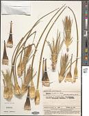 view Baxteria australis R. Br. digital asset number 1