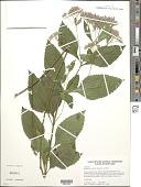 view Eupatorium dubium Willd. ex Poir. digital asset number 1