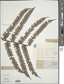 view Cyathea camerooniana Hook. var. camerooniana digital asset number 1