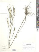view Iva microcephala Nutt. digital asset number 1