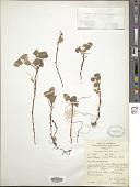 view Oxalis phaeotricha Diels digital asset number 1