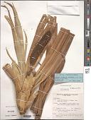 view Freycinetia arborea Gaudich. digital asset number 1