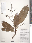 view Elvasia macrostipularis Sastre & Lescure digital asset number 1