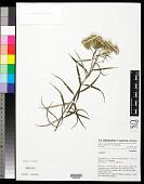 view Anaphalis longifolia (Blume) DC. digital asset number 1