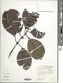 view Palicourea amethystina (Ruiz & Pav.) DC. digital asset number 1