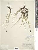 view Carex scopulorum Holm var. scopulorum digital asset number 1