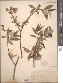 view Salix fragilis L. digital asset number 1