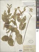 view Vincetoxicum scandens Sommier & Levier digital asset number 1