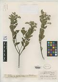 view Vernonia glandulosa V.M. Badillo digital asset number 1