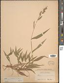 view Oplismenus compositus (L.) P. Beauv. digital asset number 1