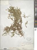 view Cuscuta europaea L. digital asset number 1