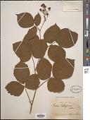 view Rubus vallisparsus Sudre digital asset number 1