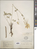 view Aquilegia caerulea var. pinetorum (Tidestr.) Payson digital asset number 1