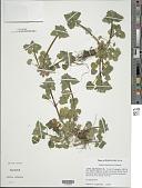 view Lamium purpureum L. digital asset number 1