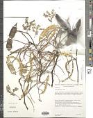 view Senegalia nigrescens (Oliv.) P.J.H. Hurter digital asset number 1