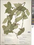 view Stemmadenia alfaroi (Donn. Sm.) Woodson digital asset number 1