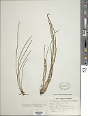 view Vittaria graminifolia Kaulf. digital asset number 1
