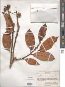 view Lithocarpus megacarpus Soepadmo digital asset number 1