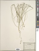 view Carex radiata (Wahlenb.) Small digital asset number 1
