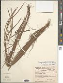 view Paspalum glaziovii (A.G. Burm.) S. Denham digital asset number 1