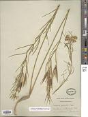 view Asclepias subverticillata (A. Gray) Vail digital asset number 1