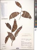 view Lacistema aggregatum (P.J. Bergius) Rusby digital asset number 1
