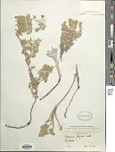 view Artemisia frigida Willd. digital asset number 1