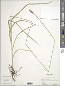 view Carex gravida var. lunelliana (Mack.) F.J. Herm. digital asset number 1