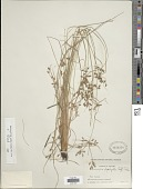 view Fimbristylis annua (All.) Roem. & Schult. digital asset number 1