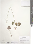 view Heuchera parvifolia Nutt. digital asset number 1
