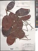 view Licania heteromorpha Benth. var. heteromorpha digital asset number 1