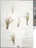 view Carex pyrenaica digital asset number 1