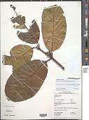 view Cheiloclinium hippocrateoides (Peyr.) A.C. Sm. digital asset number 1