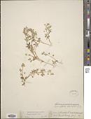 view Nemophila breviflora A. Gray digital asset number 1