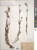 view Penstemon micranthus digital asset number 1