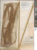 view Gynerium sagittatum (Aubl.) P. Beauv. digital asset number 1
