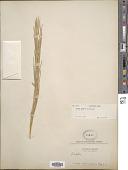 view Turritis glabra L. digital asset number 1