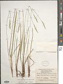 view Oryzopsis asperifolia Michx. digital asset number 1