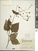 view Adenostemma lavenia (L.) Kuntze digital asset number 1
