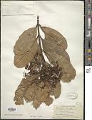 view Calophyllum inophyllum L. digital asset number 1