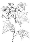 view Rubus odoratus L. digital asset number 1