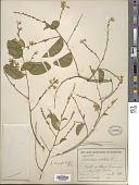 view Securidaca diversifolia (L.) S.F. Blake digital asset number 1