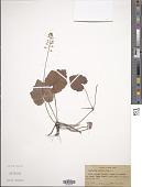 view Tiarella cordifolia L. digital asset number 1