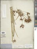 view Rhynchospora macrostachya Torr. ex A. Gray digital asset number 1