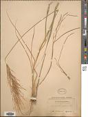view Arundinella berteroniana (Schult.) Hitchc. & Chase digital asset number 1