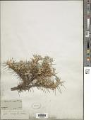 view Hesperastragalus compactus A. Heller digital asset number 1