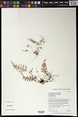 view Dryopteris glabra var. pusilla (Hillebr.) Herat ex Fraser-Jenk. digital asset number 1